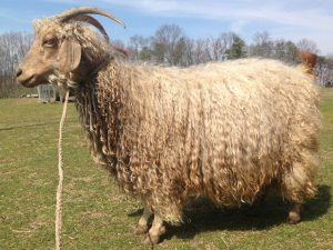 angora goat doe in full fleece