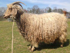 angora goat doe in full fleece