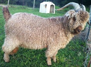 angora goat buck red