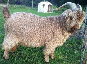 angora goat buck red