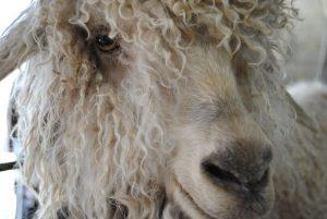 angora goat doe